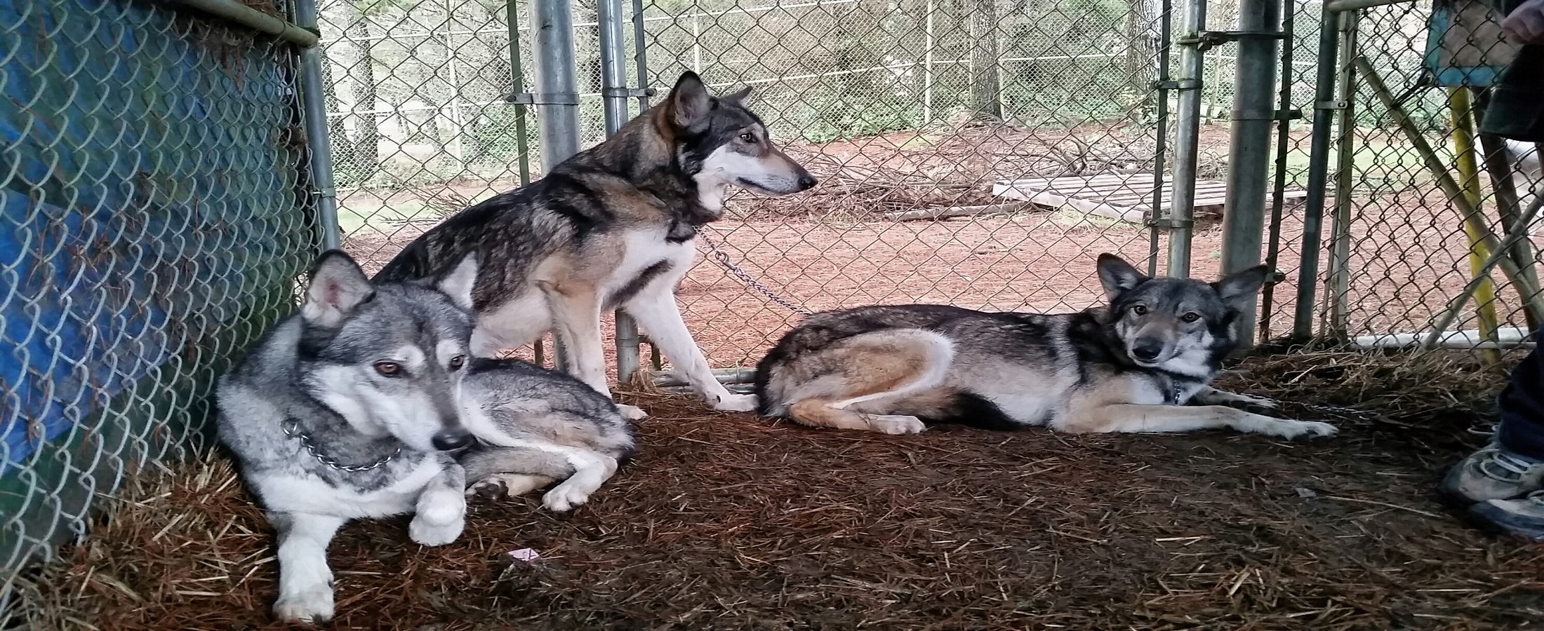 Welcome Tonever Cry Wolf Rescue And Adoptions